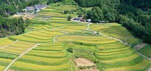 実りのシーズンを迎え黄色に染まった樒原の棚田(8月31日午後0時36分、京都市右京区)=小型無人機から