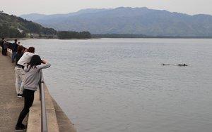 天橋立をバックに湾内を泳ぐイルカの群れ(京都府宮津市杉末)