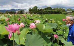 見頃を迎えた「草津北部まちづくり協議会」が栽培しているハス(滋賀県草津市下物町)
