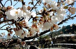中之島で咲き始めた桜(京都市右京区・嵐山公園)