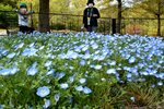 澄んだ青色の花を咲かせるネモフィラ(滋賀県野洲市三上・近江富士花緑公園)
