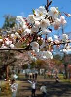 はしゃぐ子どもたちを見下ろすようにして花開く膳所城跡公園の桜(大津市本丸町)