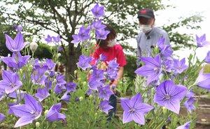 明智家の家紋とされるキキョウが紫に色づき始めた園内(京都府亀岡市宮前町・ききょうの里)