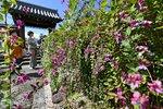 赤紫と白の花が満開になったハギ(27日午後1時11分、京都市左京区・常林寺)