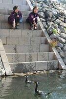 追い綱を着けずに魚を捕り、鵜匠のいる岸へと戻る鵜たち(11日午後2時50分、宇治市宇治)