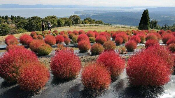 紅葉し、琵琶湖を望む山肌を彩るコキア(滋賀県高島市今津町・箱館山コキアパーク)