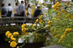 かれんな黄色い花を咲かせるヤマブキ(京都市西京区・松尾大社)