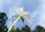 夏空の下で鳥がはばたくような姿で開花するサギソウ(5日、米原市山室・山室湿原)