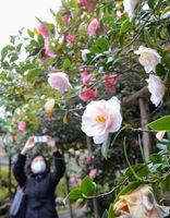境内に咲き誇る色とりどりのツバキ(京都市左京区・霊鑑寺)
