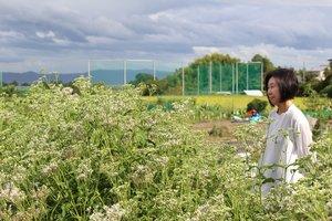 新しく移転したフジバカマ園。9月中旬から10月上旬に見頃を迎える(京都市西京区大原野)