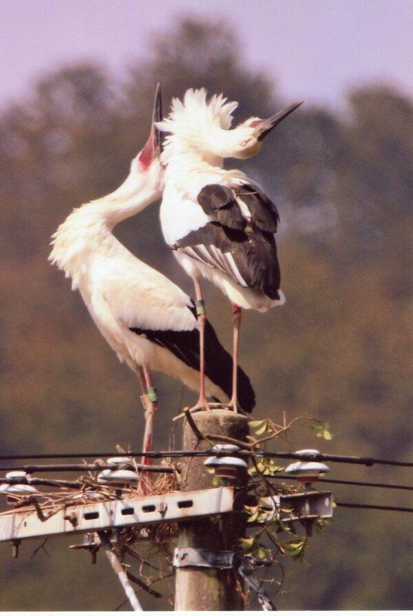 電柱の上で営巣を始めたコウノトリのペア。右のメスは背中にGPSのアンテナが付いている。感電の恐れがないように送電は止めてある(3月24日)