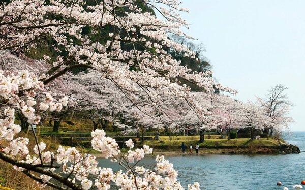 琵琶湖岸沿いの桜並木がほぼ満開となり、春一色に染まる海津大崎(29日午後1時41分、滋賀県高島市マキノ町)