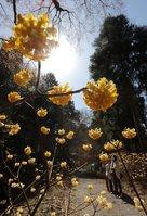 春の日差しを受けて見頃を迎えたミツマタ (東近江市・百済寺)