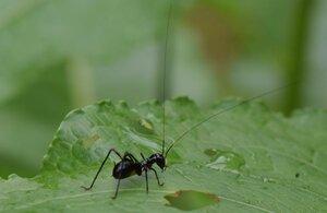 長い触覚とバッタのような脚が特徴的なアリガタツユムシの幼虫(大津市真野谷口町・春日山公園)