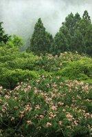 雨に煙る安曇川沿いの山あいを彩るネムノキの花(高島市朽木村井)