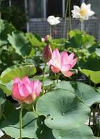 日本植物園協会のナショナルコレクションに認定された「巨椋池由来のハス」。今年も6月下旬ごろから順次開花が見込まれる(京都府宇治市広野町・市植物公園)=市植物公園提供