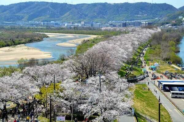 満開の花で彩られた淀川河川公園背割堤地区の桜並木(八幡市八幡・さくらであい館展望塔)