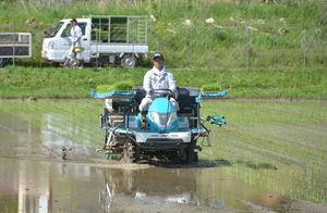 青々とした苗を植えていく園部町農業公社の職員(南丹市園部町新堂)