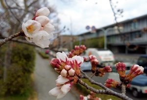 4月上旬並みの暖かさとなった10日朝、開花したソメイヨシノ(3月10日、京都市左京区・鴨川荒神橋下流)