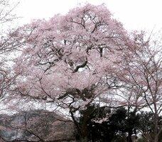 地域のシンボルとしてどっしりと構える「曽根の大桜」(京丹波町曽根)