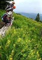 山上の湿原を黄色に染めるキンコウカの花 (滋賀県高島市マキノ町白谷)