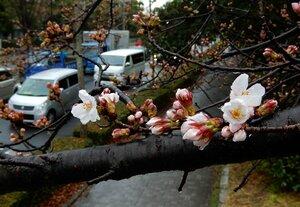 雨の降る中、開花し始めたソメイヨシノ(10日午前10時半、京都市左京区・荒神橋下ル)