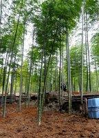 【資料写真】京都府乙訓地域に広がる竹林