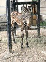 愛称を募集しているグレビーシマウマの赤ちゃん=京都市動物園提供