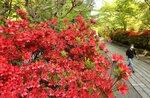 新緑の中、参道を鮮やかに彩るキリシマツツジ(2021年4月21日午後3時52分、大津市石山寺1丁目・石山寺)