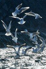 朝日がきらめく鴨川で元気よく飛び交うユリカモメ(7日午前9時42分、京都市・四条大橋上流)