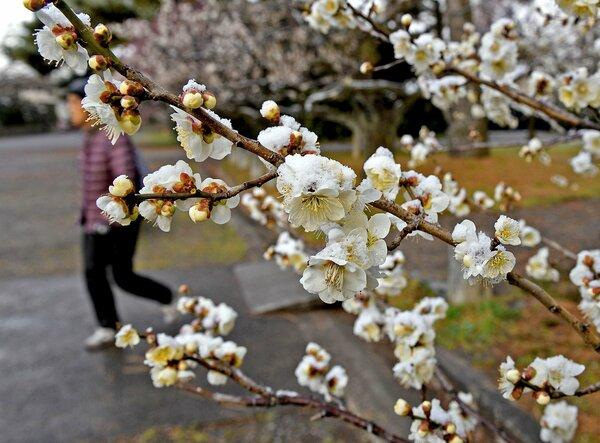 うっすらと雪をかぶった梅の花(18日午前8時2分、京都市上京区・京都御苑)