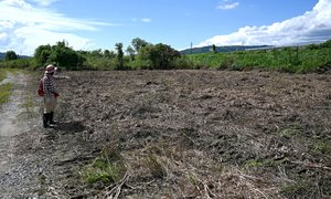 誤って刈り取られたオギ原。カヤネズミの営巣地だった(9月20日、京都市伏見区・桂川河川敷)
