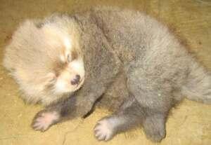 生後21日目に撮影されたレッサーパンダの赤ちゃん(福知山市動物園提供)