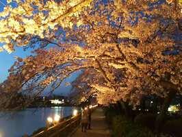 ライトアップされた満開の桜(2018年撮影、長岡京市観光協会提供)