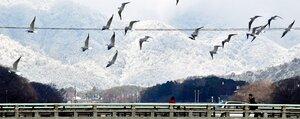 氷点下を記録した朝。京都市内を囲む真っ白な山並みをバックに飛ぶユリカモメ(京都市内)