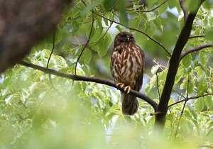 巣の近くの枝で外敵を警戒するアオバズクの親鳥(京都市上京区、京都御苑)