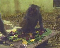 41歳の誕生日を前に、特製ケーキを食べるアカゲザルのイソコ(右、京都市左京区・市動物園)