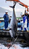 定置網から船の上に引き上げられるクロマグロ(京都府伊根町沖の若狭湾)=伊根浦漁業提供
