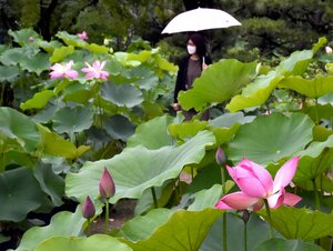 雨の中、ハスの花を楽しむ参拝者ら(京都市右京区・法金剛院)