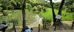 池の北半分(画面左側)と南半分(同右側)で株の密度が異なる「大田ノ沢」。株の数を減らした北半分は花の数がより多いように見える=京都市北区・大田神社、撮影・船越正宏