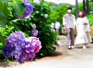 ハートの形に咲いたアジサイの花(京都府宇治市莵道・三室戸寺)