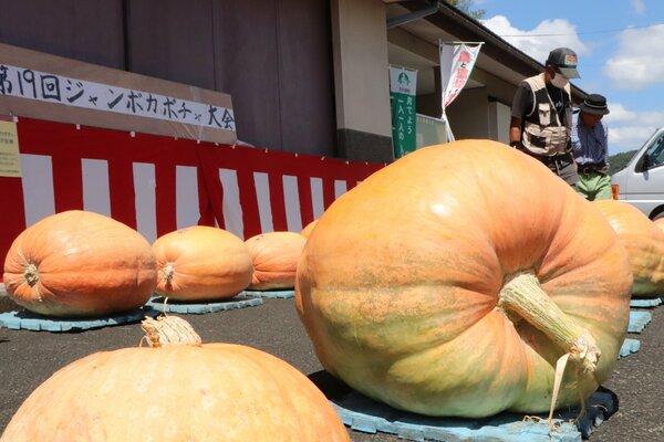地元住民らによって育てられたジャンボカボチャが並ぶ展示(京丹波町蒲生)