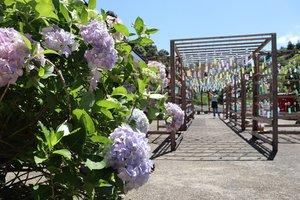 鮮やかに咲いたアジサイと境内につるされた風鈴(綾部市上延町・東光院)