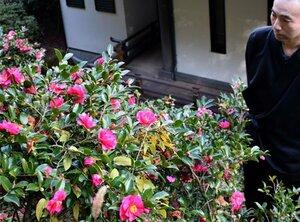 見頃を迎えたカンツバキの花(京都府長岡京市長法寺・長法寺)
