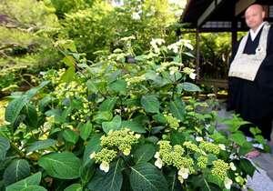 「甘露庭」で咲き始めたアマチャの花(京都市東山区・霊源院)