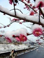 満開になった梅の花に積もった雪(18日午前8時10分、京都市左京区静市市原町)