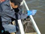 稚貝を入れたかごを漁場に設置する真珠養殖業者(滋賀県提供)