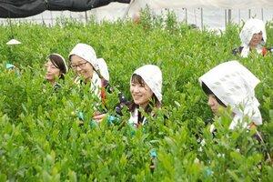 「茶摘み娘」の装いで一足早く新茶を摘む社員たち(木津川市相楽台・福寿園CHA遊学パーク)[LF]