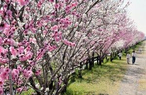 約300メートルにわたってピンクや白に色付いたハナモモ(京都府宇治市槙島町)