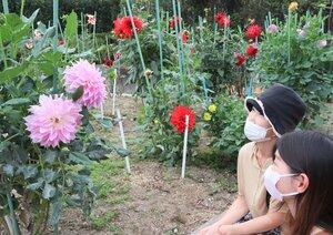 旬を迎えた大輪のダリアの花に見入る来場者たち(日野町鎌掛・日野ダリア園)
